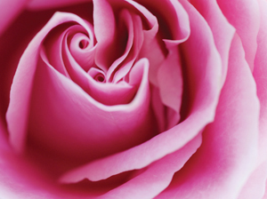 Surround yourself with pink roses and breathe in the blissful love that they hold for you.