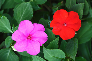 Impatiens can restore the ability to slow down and allow for a more natural progression of things and events.