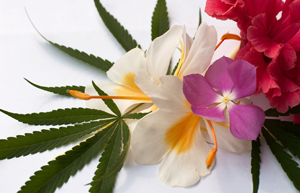 """The report, """"The Effects of Marijuana Use on Impulsivity and Hostility in Daily Life,"""" published in the journal Drug and Alcohol Dependence, found that marijuana use is associated with changes in impulse control and hostility in daily life."""