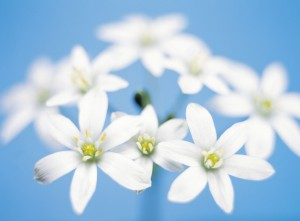 The Star of Bethlehem remedy is beneficial for people, animals and plants during times of crisis.