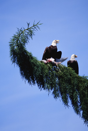 The condor and eagle are the archetypes of the east direction. The eagle is the North American archetype and the condor is the South American.