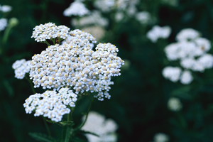 Yarrow is well known as a preventative and cure for colds, flus and other viruses.