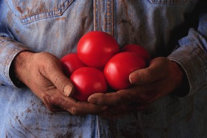 Firm, ripe, organic tomatoes are the best ones to use for canning. Make sure that they are completely red and have no soft spots.