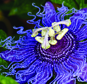 Look to the passion flower to remind you of your passion for life.