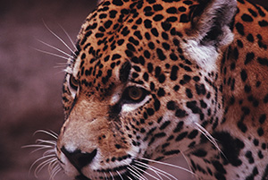 When we adopt the path of the jaguar, we become the luminous warrior and our whole experience changes. The world becomes a safe place again. We walk in beauty and realize that the universe is a mirror reflecting back to us.