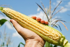 Recently, a report given to Moms Across America by an employee of Canada's only non-GM corn seed company, De Dell Seeds, contained some shocking facts. The report offers a stunning picture of the nutritional differences between GM and non-GM corn.