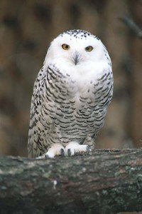Owls convey wisdom because they see what is hidden behind the words spoken, thereby avoiding being deceived.