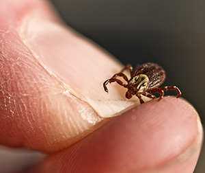 Because tick bites are usually painless, have a long incubation period and the symptoms are so varied, a tick-borne disease may go unrecognized for weeks or even months.