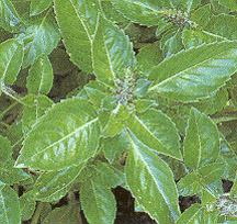 Holy Basil is considered the Mother Medicine of Nature in the Ayurvedic tradition, and has a long and sacred legacy of uplifting, calming and balancing a being on many levels.